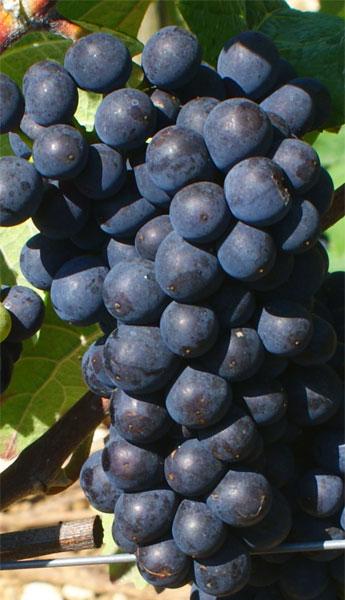 Cépage Pinot Meunier